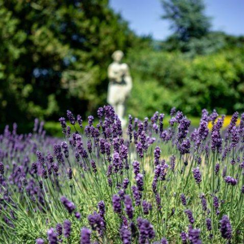 lavendar with status background in garden